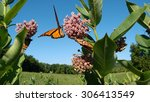 Milkweed And Monarchs In...