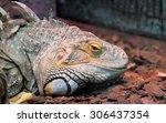 close up of a male green iguana ... | Shutterstock . vector #306437354