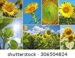 Sunflowers In Summer   Photo...