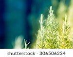 rosemary plants | Shutterstock . vector #306506234