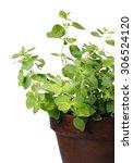 oregano plant in a clay pot.... | Shutterstock . vector #306524120