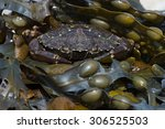 European Green Crab On Seaweed...