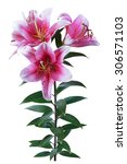 red lily isolate | Shutterstock . vector #306571103