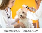 Stock photo ear examination of cute maltese dog by veterinarians in vet clinic 306587369