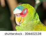 Small photo of Portrait of a Amazona albifrons (white-fronted parrot)