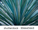 spiked agave | Shutterstock . vector #306665663