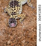 Small photo of leopard gecko regrows tail after autotomy