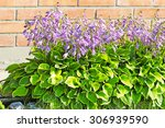 Hosta  Hosta . Group Of...
