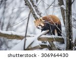 Red Panda Climb On The Tree