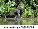 Gorilla In Gabon  Western...