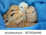 four lovely new born chickens...   Shutterstock . vector #307026440