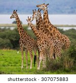 Group Of Giraffes. Uganda....