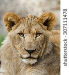 A Portrait Of A Young Lion...