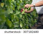 senior winemaker cuts twigs | Shutterstock . vector #307182680