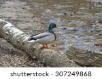 Male Mallard Duck On The Falle...