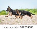 Two German Shepherd Puppies...