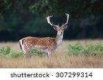 fallow deer | Shutterstock . vector #307299314