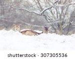 Two Little Fallow Deer In The...
