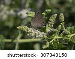 Small photo of White M Hairstreak feeding on wild meadow tea flowers. White M Hairstreak, Parrhasius m-album, is a species of butterfly of the Lycaenidae family.