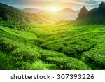 Tea Plantation In Sunset Time....