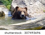 Grizzly Bear In Water   Isolated