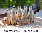 Meerkat Family Are Sunbathing.