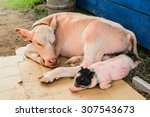 cows and pigs are sleeping