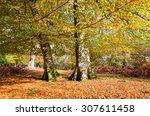 Autumn Beech Trees At...