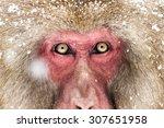 Japnanese Snow Monkey Shooting...