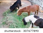 Three Horse Dwarf Young Eat...