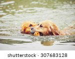 Two Golden Retrievers Dogs Are...