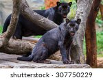 Two Panther In A Tree Looking...