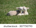 Pair Of Adorable Spring Lambs...