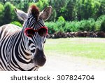 Funny Zebra With Sunglasses