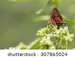 Small photo of Cigaritis vixinga davidsoni Aberrant Silverline Butterfly
