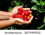 red cherry in hand while... | Shutterstock . vector #307949933