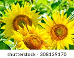 Beautiful Sunflower Field In...
