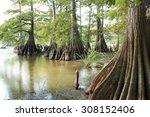Massive Bald Cypress Trees At...