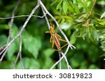 Small photo of Lubber grasshopper (Romalea luttata) on a straight and narrow twig, inland Florida.