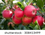Bright Red Organic Apples On A...