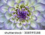 Lilac  Flower Dahlia   Closeup...
