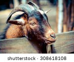 Portrait a goat   horned cloven ...