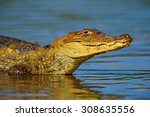 Portrait Of Yacare Caiman In...