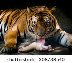 Tiger Eating Meat In Dusit Zoo...