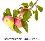 ripe apples on a branch... | Shutterstock . vector #308849780