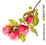 ripe apples on a branch... | Shutterstock . vector #308849789