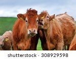 a herd of cows on the meadow... | Shutterstock . vector #308929598