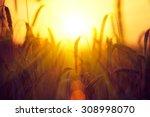 Field Of Dry Golden Wheat....