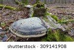 Giant Polypore Fungi In Fall...