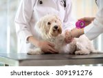 Stock photo sad little maltese dog with broken paw in vet infirmary 309191276